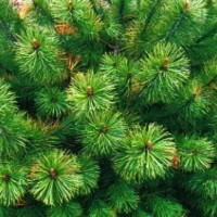 B16 Pine