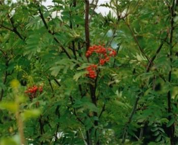 B17 Sorbus