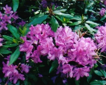 B19 Alpinerose