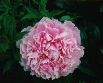 B20 Paeonia Kathleen