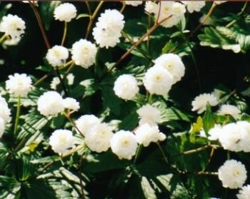 B24 Achillea Ptarmica