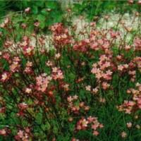 B26 Saxifragia dark pink