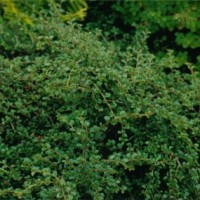 B30 Cotoneaseter adpressus
