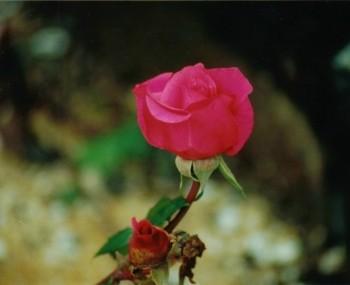 B31 Rose