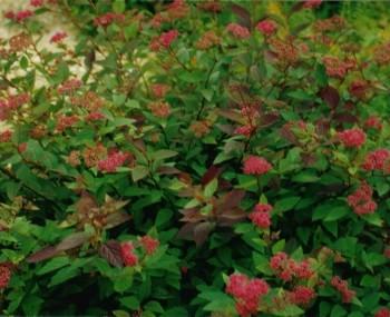 B32 Spiraea mollifolia