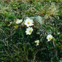 B4 Understanding Dryas Octopetala